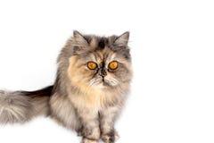 Γάτα που μονώνεται Στοκ Φωτογραφία