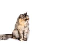 Γάτα που μονώνεται Στοκ Εικόνες