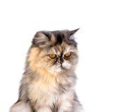 Γάτα που μονώνεται Στοκ Εικόνα