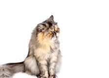 Γάτα που μονώνεται Στοκ φωτογραφία με δικαίωμα ελεύθερης χρήσης