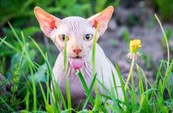 Γάτα που παρουσιάζει γλώσσα, μεγάλα μάτια Στοκ Φωτογραφίες