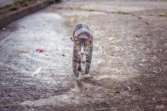 γάτα που περπατά προς τη κάμερα Στοκ Φωτογραφία