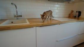 Γάτα που περπατά στην επιφάνεια εργασίας κουζινών σε σε αργή κίνηση φιλμ μικρού μήκους