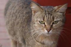 Γάτα που περπατά στην οδό στοκ εικόνα με δικαίωμα ελεύθερης χρήσης