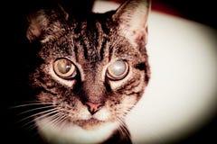 Γάτα που πηγαίνει τυφλή με τους καταρράκτες Στοκ Εικόνες
