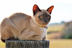 Γάτα που σκαρφαλώνει αγροτική στη θέση φρακτών Στοκ Φωτογραφίες