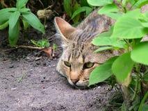 Γάτα που στηρίζεται στους θάμνους Στοκ Εικόνες