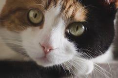 Γάτα που στηρίζεται το κεφάλι της στο πόδι της στοκ εικόνα με δικαίωμα ελεύθερης χρήσης
