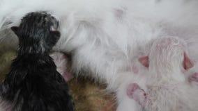 Γάτα που ταΐζει τα χαριτωμένα μικρά γατάκια στο σπίτι μικρός νεογέννητος τα γατάκια Καλά γατάκια που κοιμούνται μαζί στο απομονωμ φιλμ μικρού μήκους