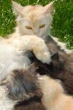 γάτα που ταΐζει τη μητέρα γατακιών της στοκ φωτογραφία με δικαίωμα ελεύθερης χρήσης