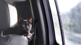 Γάτα που ταξιδεύει με τον ιδιοκτήτη στοκ εικόνες