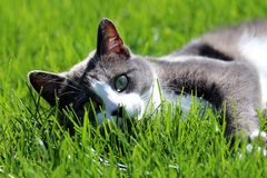 Γάτα που τοποθετούνται στη χλόη στον ήλιο στοκ φωτογραφίες