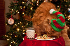 Γάτα που τρώει τα μπισκότα Santas στοκ φωτογραφίες