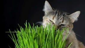 Γάτα που τρώει τη φρέσκια πράσινη χλόη απόθεμα βίντεο