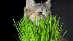 Γάτα που τρώει τη φρέσκια πράσινη χλόη φιλμ μικρού μήκους