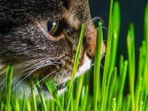Γάτα που τρώει τη φρέσκια χλόη κοντά επάνω Στοκ εικόνες με δικαίωμα ελεύθερης χρήσης