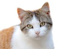 γάτα που φαίνεται εγώ Στοκ Φωτογραφίες