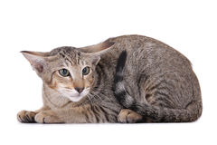 γάτα που φοβάται Στοκ Εικόνες