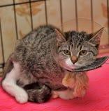 Γάτα που φορά ένα περιλαίμιο χοανών Στοκ φωτογραφία με δικαίωμα ελεύθερης χρήσης