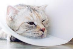Γάτα που φορά ένα προστατευτικό buster περιλαίμιο στοκ εικόνα