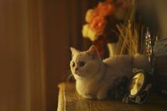 Γάτα πολυτέλειας Στοκ εικόνα με δικαίωμα ελεύθερης χρήσης