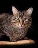 γάτα ριγωτή Στοκ Φωτογραφίες