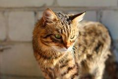 γάτα ριγωτή Στοκ φωτογραφία με δικαίωμα ελεύθερης χρήσης