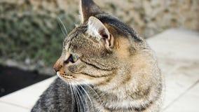 γάτα ριγωτή Στοκ εικόνα με δικαίωμα ελεύθερης χρήσης