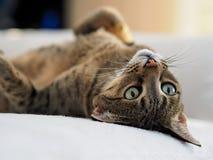 Γάτα σαβανών που βάζει στο κρεβάτι στοκ φωτογραφία με δικαίωμα ελεύθερης χρήσης