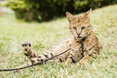 Γάτα σαβανών Στοκ εικόνες με δικαίωμα ελεύθερης χρήσης