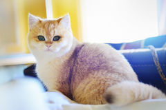 Γάτα σε έναν καναπέ Στοκ Εικόνα