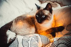 Γάτα σε ένα άσπρο κρεβάτι στοκ εικόνες με δικαίωμα ελεύθερης χρήσης