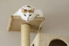 Γάτα σε ένα δέντρο γατών που εξετάζει περίεργα τη κάμερα στοκ φωτογραφία