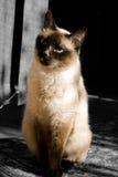 γάτα Σιάμ Στοκ Εικόνες