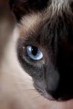 γάτα σιαμέζα στοκ φωτογραφίες