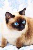 γάτα σιαμέζα στοκ εικόνες με δικαίωμα ελεύθερης χρήσης