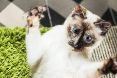 γάτα σιαμέζα Στοκ φωτογραφίες με δικαίωμα ελεύθερης χρήσης