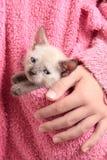 γάτα σιαμέζα Στοκ εικόνα με δικαίωμα ελεύθερης χρήσης