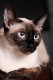 γάτα σιαμέζα Στοκ Φωτογραφία