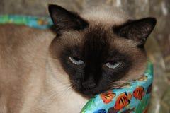 γάτα σιαμέζα pet Ζωικός κόσμος στοκ εικόνα