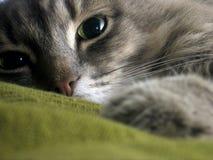 γάτα Σιβηριανός Στοκ εικόνες με δικαίωμα ελεύθερης χρήσης