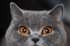 γάτα σκωτσέζικα Στοκ Φωτογραφίες