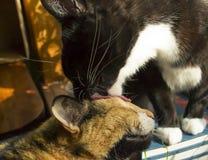 Γάτα σμόκιν που γλείφει το βαμβακερό ύφασμα Στοκ Εικόνες