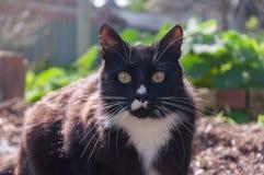 Γάτα σμόκιν Στοκ εικόνες με δικαίωμα ελεύθερης χρήσης
