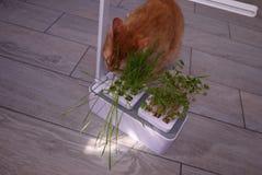 Γάτα σπιτιών που τρώει τη χλόη Η χλόη αυξάνεται ειδικά για τη γάτα για να πάρει τις απαραίτητες βιταμίνες με την κατανάλωση του τ στοκ εικόνες