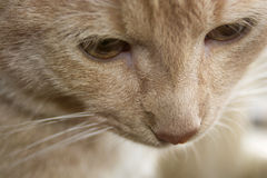 Γάτα στενό επάνω p1 Στοκ φωτογραφία με δικαίωμα ελεύθερης χρήσης