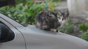 Γάτα στην κουκούλα του αυτοκινήτου απόθεμα βίντεο