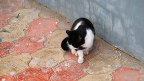 Γάτα στην οδό που γλείφει το πόδι του φιλμ μικρού μήκους