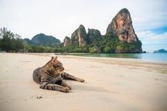 Γάτα στην παραλία Railay, Ταϊλάνδη Στοκ Εικόνες
