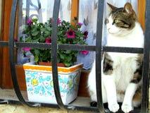 Γάτα στη Μάλτα στο παράθυρο Στοκ εικόνα με δικαίωμα ελεύθερης χρήσης